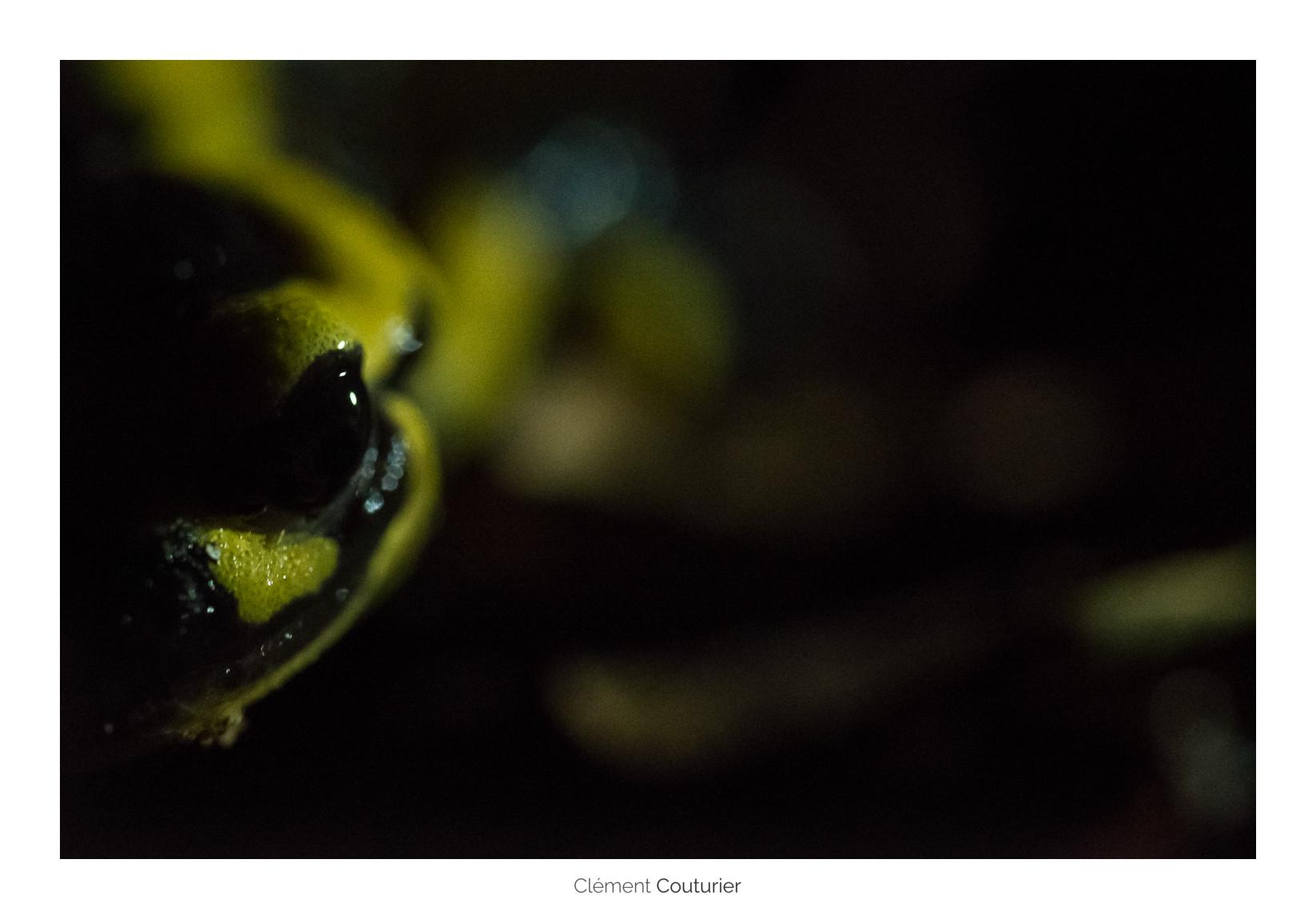 Salamandre - Clément Couturier
